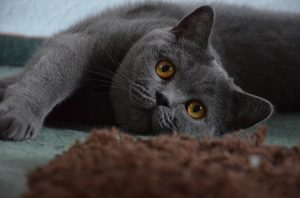 chat 2 chartreux