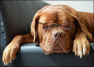 chien dogue lunette spixabay