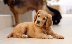 chiot cocker pixabay