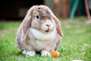 lapin carotte pixabay
