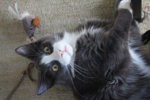 comportement chat adulte et chaton maisons alfort
